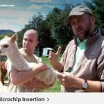 Microchip insertion video