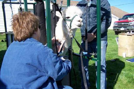 A Vet drawing blood from a male in the alpaca chute - Photo courtesy of Jay Mtn Alpacas